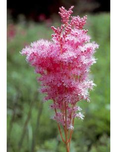 Queen Of The Prairie: Nature's Cotton Candy