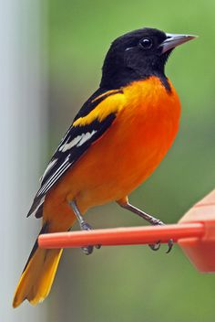 Beautiful colors on this oriole photographed by raddad! Most Beautiful Birds, Pretty Birds, Animals Beautiful, Cute Animals, Exotic Birds, Colorful Birds, Baltimore Orioles Birds, Oriole Bird, All Birds