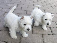These little westies are precious!! I want them both! and I want them now!