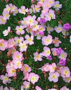 pink evening primrose in Medina County, Richard Reynolds