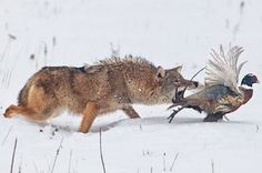 coyote eating pheasant