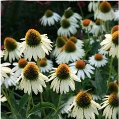 The Echinacea 'White Swan' is pobably the most widely grown white coneflower in the country. Flowers are a clean white with drooping petals. This strain was introduced by White Flower Farm some years ago and remains the classic white echinacea.
