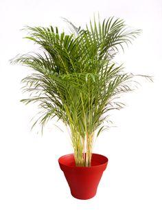 Palmier Areca pot rouge