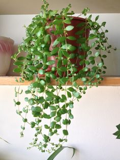 Trailing Succulent Plants | Trailing String of Nickels plant with small green leaves