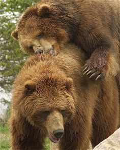 funnywildlife:  bearback rider by ucumari on Flickr.#Nature#Photo#Cute