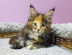 New!!! Elite Maine Coon Kitten From Europe With Excellent Pedigree. In Excellent Breed Type. Female, Glamour in - Hoobly Classifieds