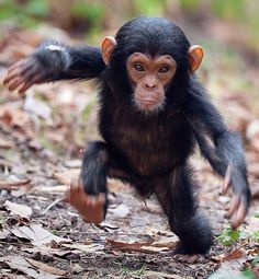 Baby chimp, at a national park in Tanzania, East Africa. (Is it me or does this chimp look like Leonard Nimoy/Dr. Cute Baby Animals, Animals And Pets, Funny Animals, Monkeys Animals, Baby Wild Animals, Animal Babies, Jungle Animals, Animals Images, Nature Animals