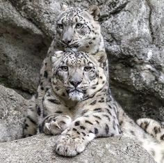 Snow Leopards                                                                                                                                                                                 More
