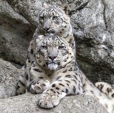 Snow Leopard Mother & Cub