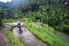Tegalalang Rice Terrace WoMan Work