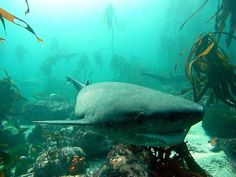 When diving in Cape Town you'll commonly find a small group of cow sharks lurking around a particular area. That's because they sometimes hunt in packs, working as a team to capture large prey.They are known to stalk prey from behind and then swim forward rapidly to capture it.