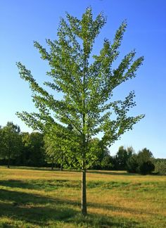 ginkgo tree portland - Google Search