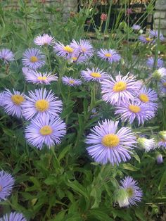 Bridget Wexman: Color, purple daisies with yellow centers in Lacoste