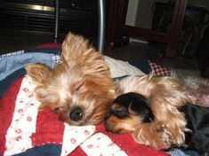 Mom and child, cutest darned thing ever. I LOVE YORKIES.