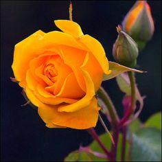 jerzee55: Orange Rose by Pilar Azaña