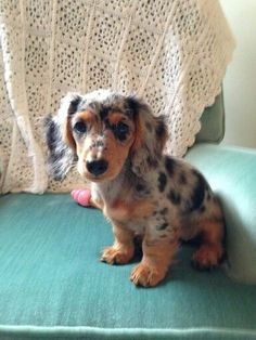 Dapple mini dachshund