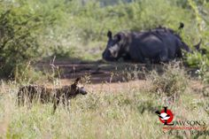Two Southern White Rhino's and a pack of 11 Wild Dogs resting up a few meters from each other. Kruger National Park, Wild Dogs, Endangered Species, Predator, Safari, Wildlife, Southern, Africa, The Incredibles