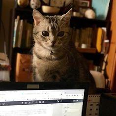 僕は、ママがちゃんとお仕事しているか、 見張っています。 I am watching whether Mama is working properly.  #ねこ #ネコ #猫 #cat #愛猫 #アメショー #アメショ #にゃんこ #アメリカンショートヘアー #americanshorthair #猫のいる暮らし #日常の写真 #life #photography #写真が好き