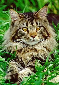 Maine Coon Cats - the closest you can get to having a dog in a cat body
