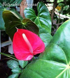 Otra foto de la inflorescencia de un Anturio, Anthurium andraenum