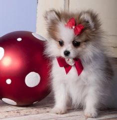 Pretty little Pom