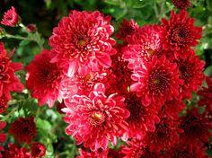 Resultado de imagen para crisantemo cultivo