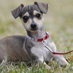 Chiweenie (Chihuahua x Dachshund)