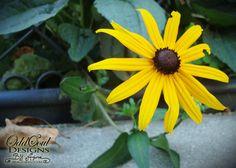 Color Magic: Yellow   #black #eyed #susan