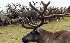 Yamal's reindeer livestock population is growing - Agricultural sector: Arctic-Info Agricultural Sector, Livestock, Arctic, Reindeer, Russia, News, Animals, Animales, Animaux