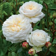 Tranquillity - David Austin Roses. Pure white, rosette blooms. Vigorous, healthy shrub.. The opening buds are lightly tinged with yellow but as the flowers open they become pure  white. There is a light apple fragrance. We are sure that with its pure white flowers this rose will live up to its name.