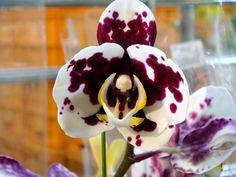 Image from http://hybridorchid.la.coocan.jp/Phalaenopsis/Phalaenopsis%20Taiwan%20Glory/DSC07856.JPG.
