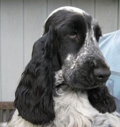English Cocker Spaniel Information and Pictures