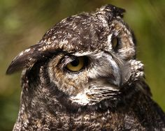 Great Horned Owl by bieber photography