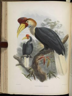 A monograph of the Bucerotidæ, or family of the hornbills.  by David G Elliot, 1882 - Biodiversity Heritage Library