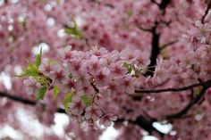 #spring, #cherry blossoms, #pink, #beautiful, #full bloom,