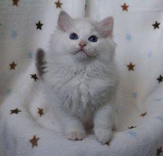 Rock Creek Ragdoll kitten