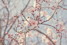 Cherry Blossoms (Serene and whimsical)