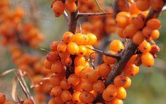 Havtorn är ett ett orangegult bär med ett högt näringsinnehåll och unikt för sitt rika innehåll av omega-7. Fettsyran bidrar bland annat till att hud och slemhinnor håller rätt fuktbalans. Vid torr hud och torra och sköra slemhinnor kan omega-7...