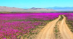 20 surreal places you need to see to believe Atacama Desert Antofagasta Region, Chile Temple Maya, Chili, Desert Flowers, Pink Flowers, Felder, Trekking, South America, Places To See, Santiago