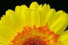 Fine Art Nature Photography Gerbera Daisy $40 by LMRPhotography on #zibbet
