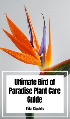 Everything You Need to Know About Bird of Paradise Plants – Origins, History, Symbolism, How to Grow Birds Of Paradise Plant, Paradise Flowers, Flowers For Each Month, Indoor Ferns, House Plant Delivery, Fiddle Leaf Fig Tree, House Plant Care, Plant Nursery, Snake Plant