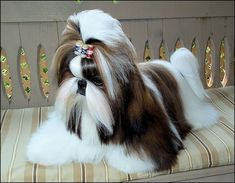 Yeah, right. I wouldn't have a life if my Shih Tzu looked like this.