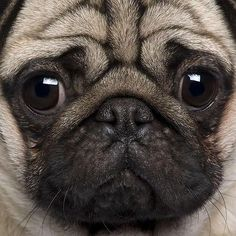 pug close-up