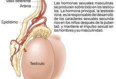 Gónadas o glándulas sexuales Icarito