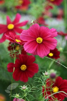 Cosmos bipinnatus 'Rubenza' - these easy and undemanding annuals that will flower right up until the first frosts and look very pretty when added to posies