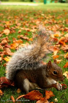 Squirrel and Autumn leaves.