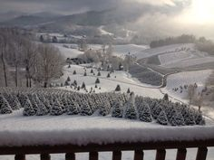 ♥ Snowy Christmas Tree Farms in the western North Carolina mountains ... NC is one of the major premium Christmas Tree growers in the country, especially of our local mountain native, the beautiful Fraser Fir!