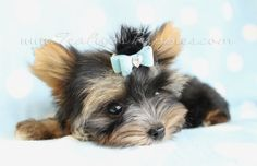 parti colored yorkie by teacupspuppies.com