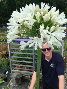 That's bigger than your head Michael! Agapanthus africanus alba for Hampton Court