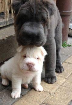 Blue  Platinum Bear Coat Shar Pei puppies.